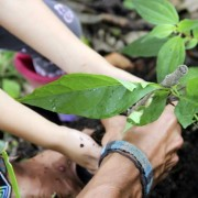 Ecuatea Guayusa Planting1