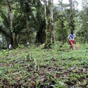 Ecuatea Guayusa Planting4
