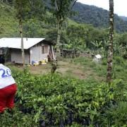 Ecuatea Guayusa Planting5